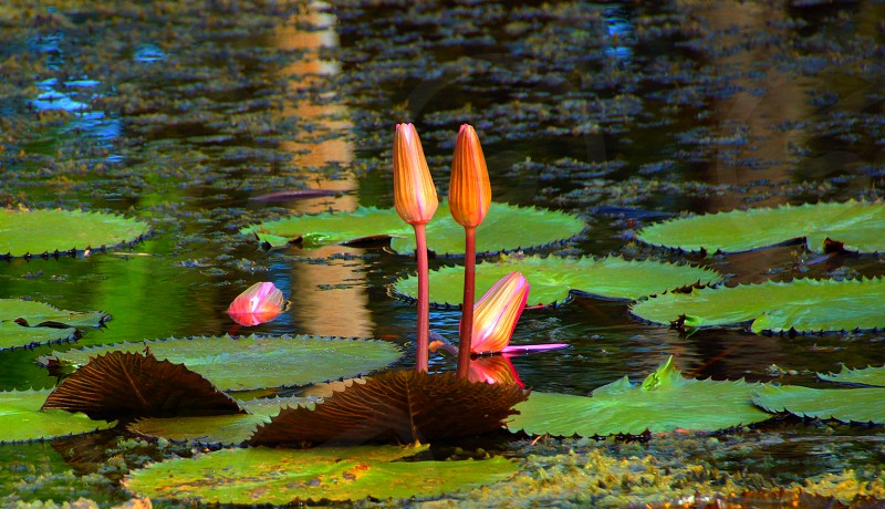 lotus flower on water photo