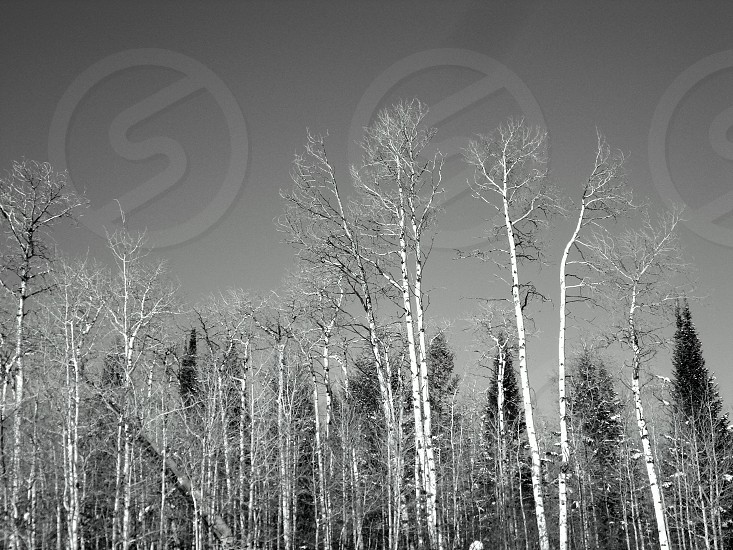 Birch trees in winter photo