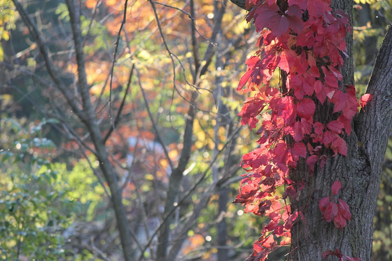 red lobed leaves on trunk of tree during daytime photo