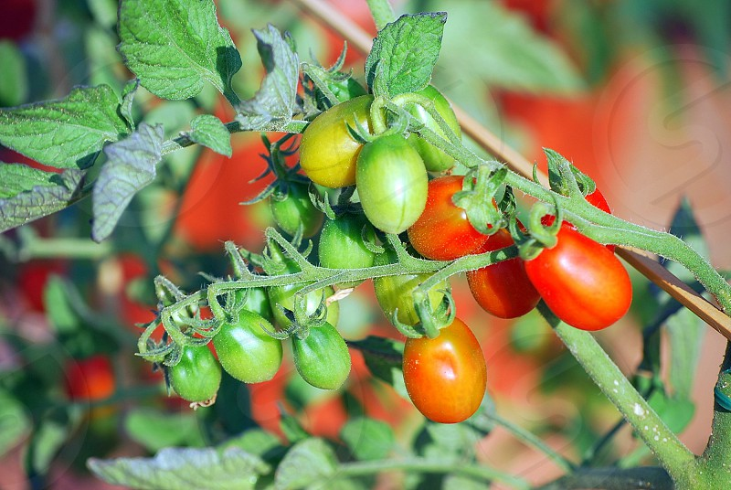 green and red cherry tomatoes photo