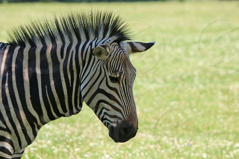 plains zebra photo
