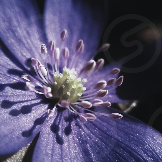 macro shot of a blue anemone photo