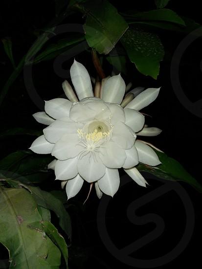 Night Blooming Jasmine Flower photo