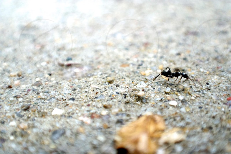 The hard cement and a soft bodied ant. At these scales it look like the concrete is some rough terrain to cross for this little guy.  photo