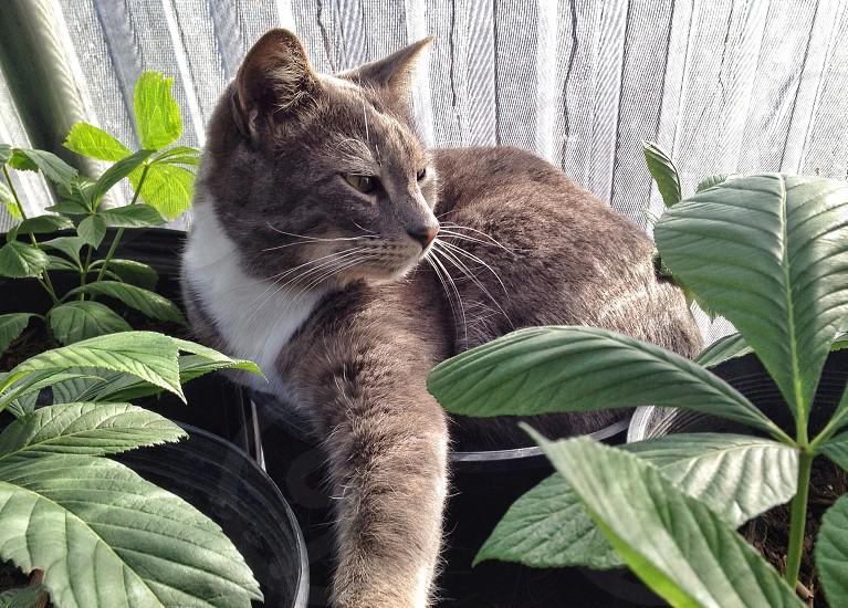 grey tabby cat photo