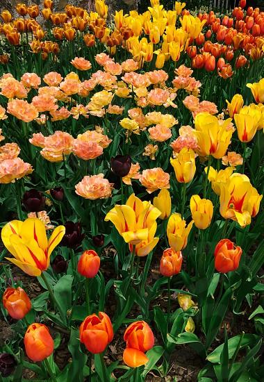 Flowers in bloom tulips  photo