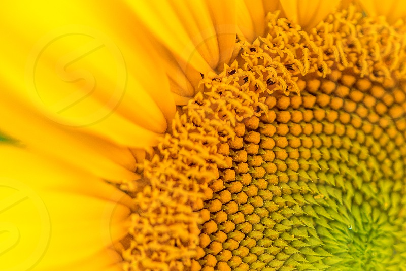 close up photo of yellow clustered petal flower photo