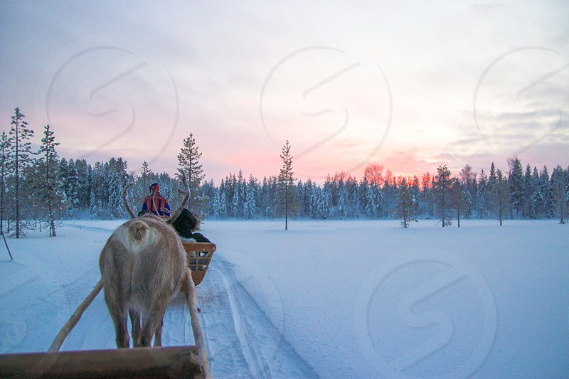 Reindeer sleigh ride in the wetlands of Lapland Finland. The man upfront wears a traditional costume. At the horizon you see the sunrise/sunset during polar night. This means that the sun doesn't come above the horizon which results in a pink glow for a couple of hours during the day.  photo