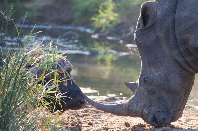 This pregnant rhino was warning the Cape buffalo to not come any closer...very unusual to see its horn resting on the buffalos nose. photo
