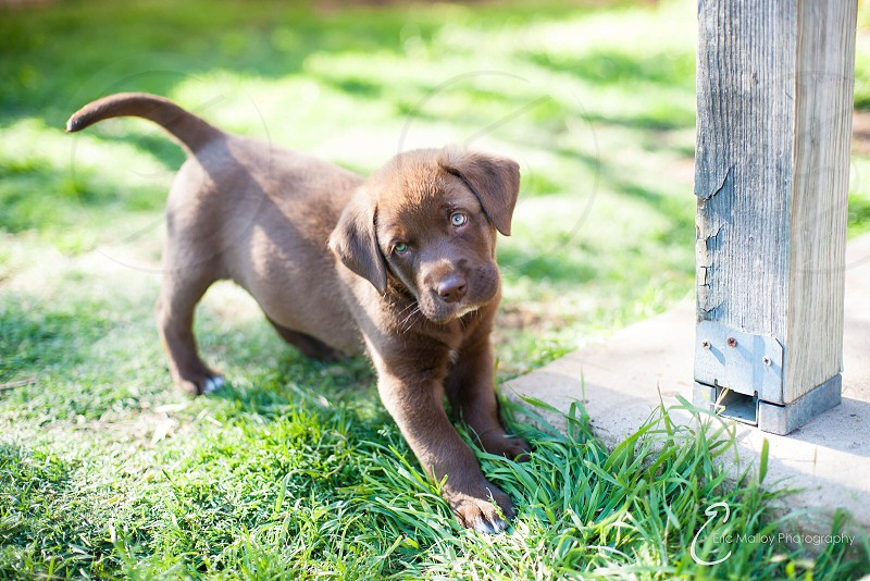 chocolate labrador retriever puppy photo