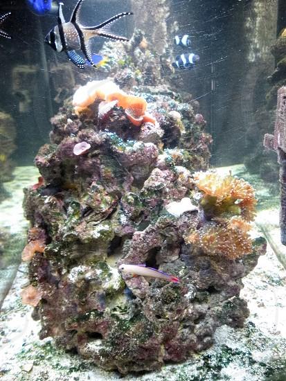 Saltwater fish invertebrates live rock corals living sea ocean oceanic   photo