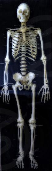 Skeleton image for teaching. photo