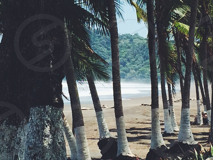 coconut trees by the beach photo photo