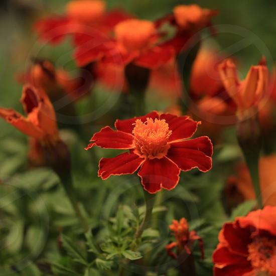 Red and Orange flower photo