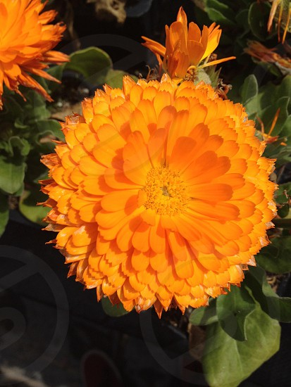 orange flowering plant photo