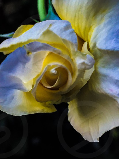 shallow focus photography of yellow and white flower photo