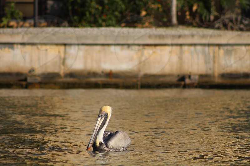 pelican bird ocean water sea wildlife photo