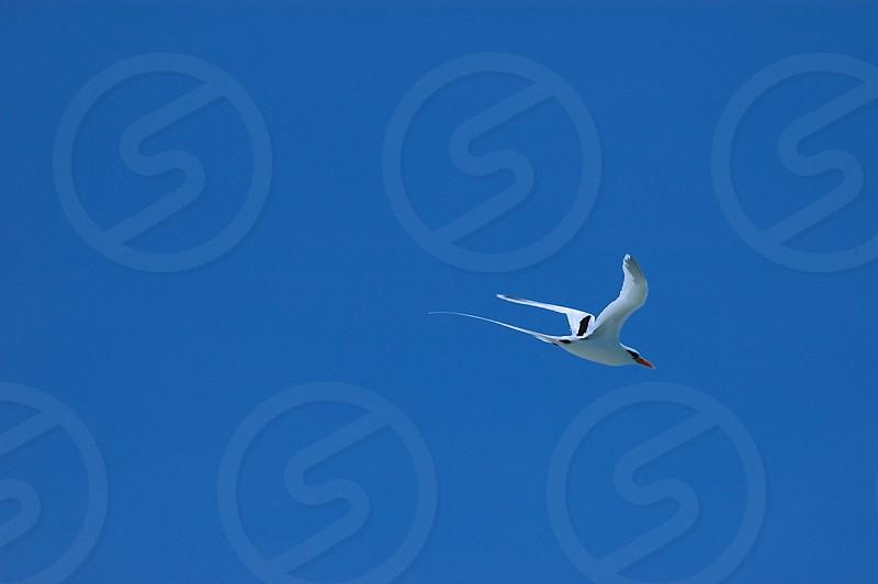 Tropic bird Bahamas flying bird white bird blue sky photo