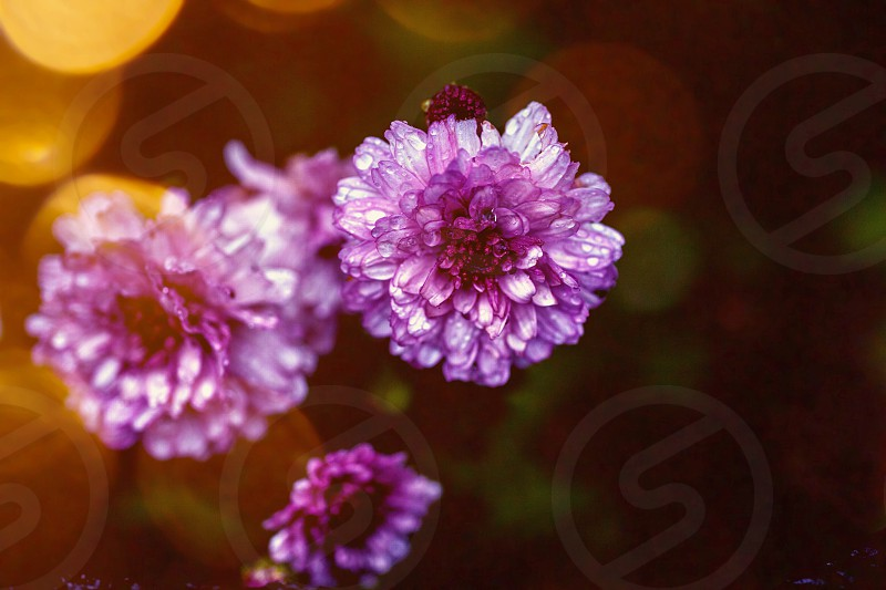 Pink flowers with light flare  photo