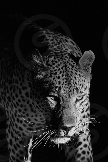 grayscale photo of jaguar photo