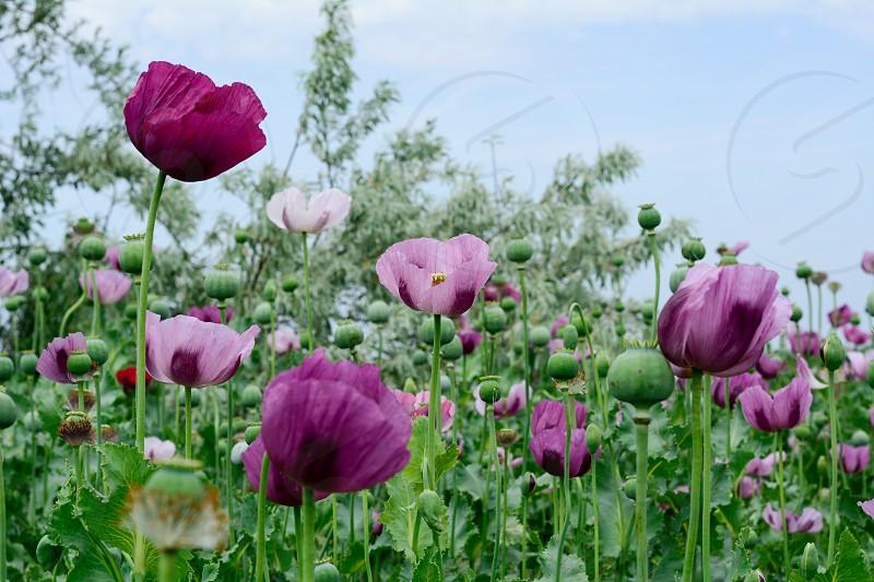 Poppypoppy flowerflowerbedspringsunnycolorfulclose up photo