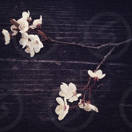 Sakura. Cherry Blossoms. photo