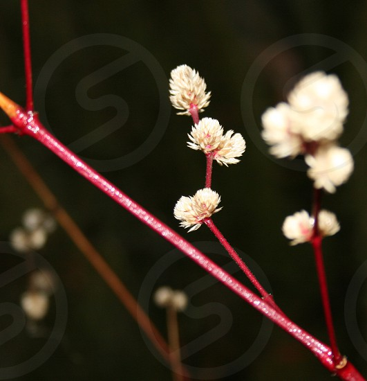 Plant garden weed soft macro red brown white photo