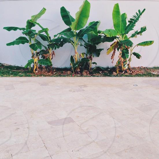 green banana tree photo