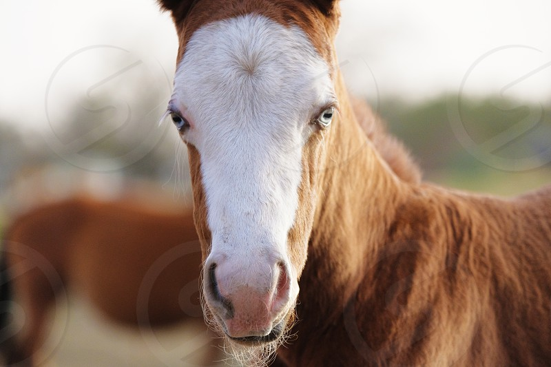 Blue eyed foal close up for horse portrait on farm. photo