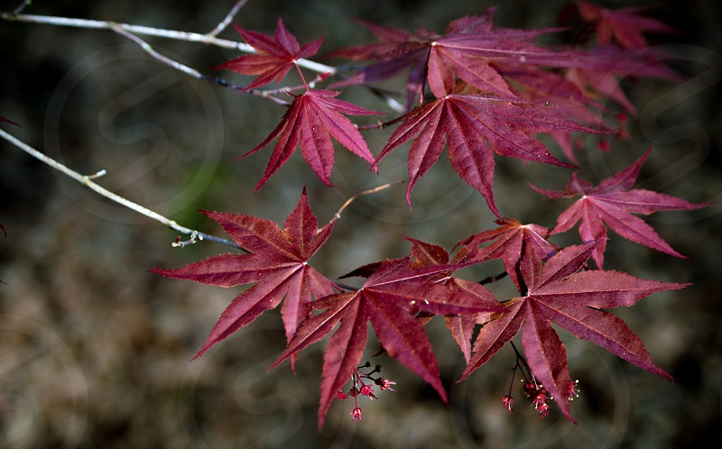 Japanese mapleredtreegardennatureleavesleaf flora photo