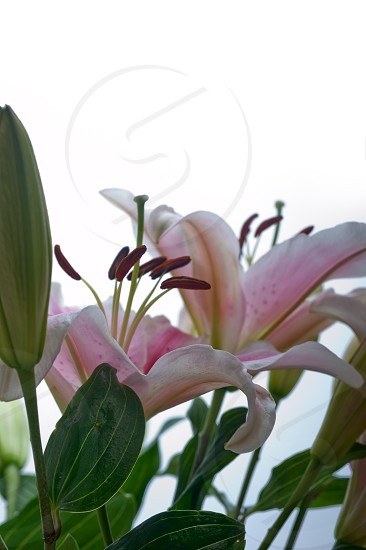 pink lily flower bunch  bouquet over white copyspace photo