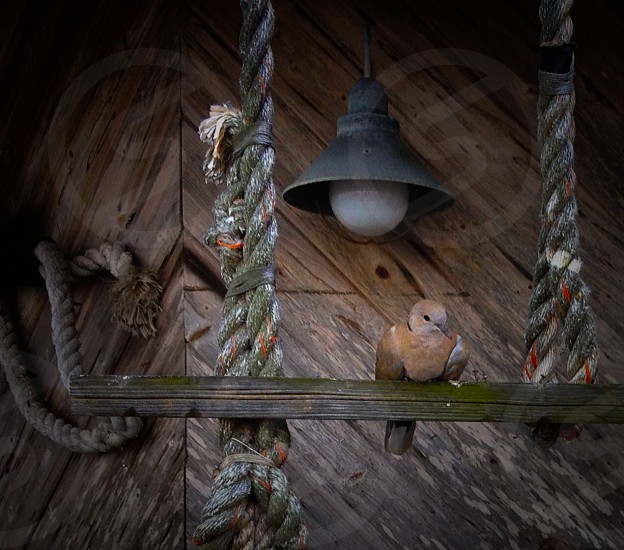 a sweet dove among the ropes photo