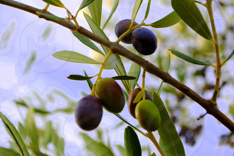 Tuscany Italy olive branch olives photo