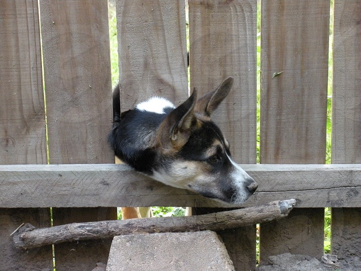 Dog with his head poked through a hole in fence. Doggie puppy pup canine animal  photo