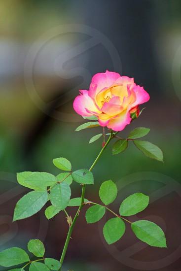 Fall Rose photo