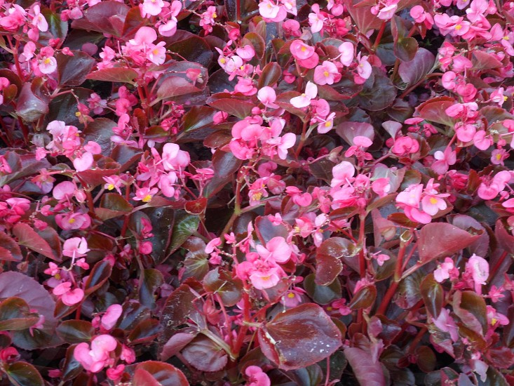 pink petaled flowers on close up photography photo