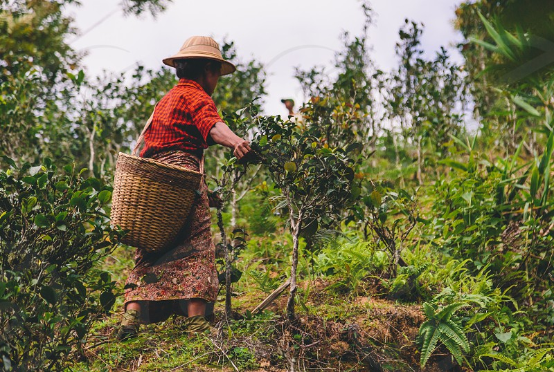 A Burmese woman picks tea on the side of a mountain. photo