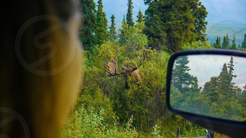 Alaska nature wildlife moose Denali national park girl watching car forest tree green photo