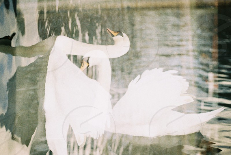 double exposure swan  photo