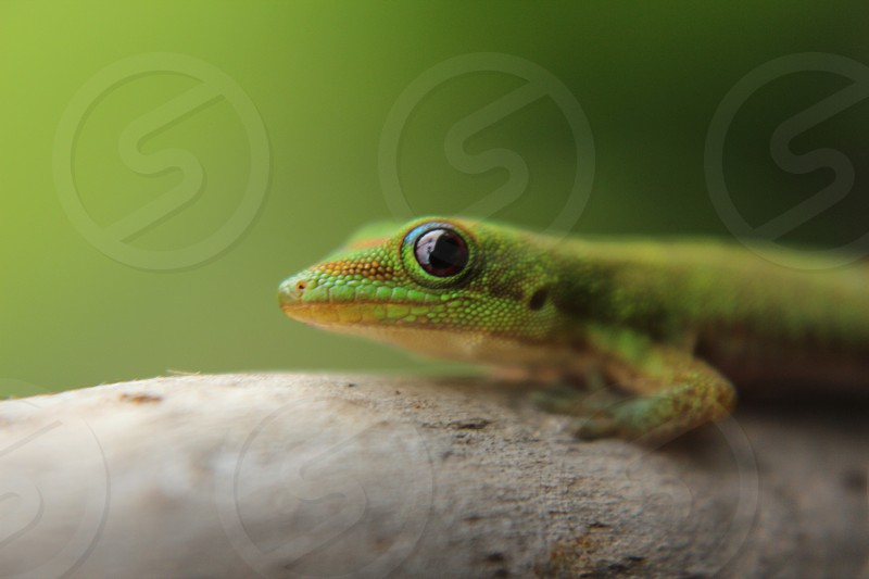 Green Gecko Hawaii Kona island photo