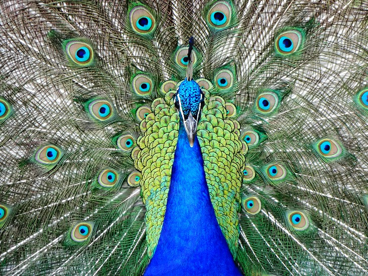 peacock colorful colors bird animal feathers photo