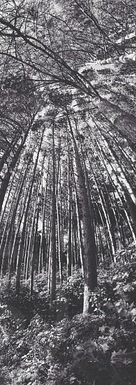 Tall skinny pine forest photo