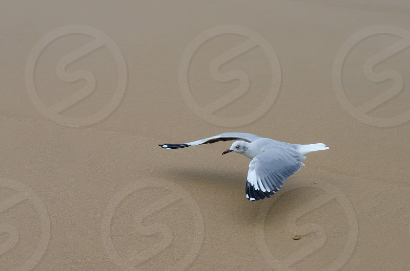 A grey-headed gull glides gracefully over the sand at South Beach Durban South Africa. photo