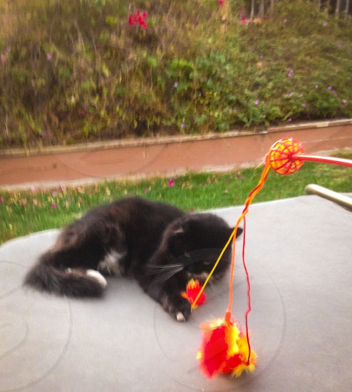 black and white long haired cat lying outside while batting at a feather toy photo