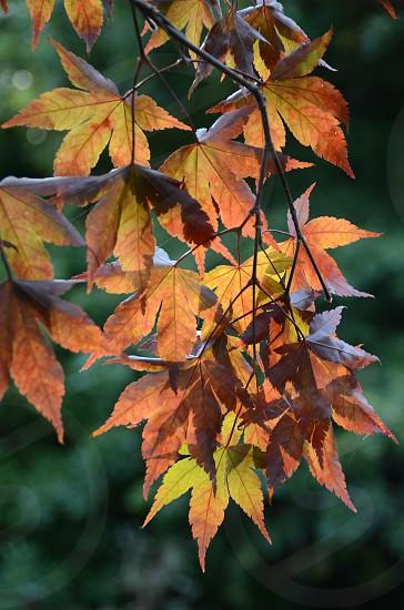 Autumn leaves Japanese Maple photo