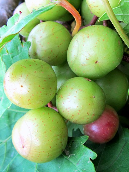 Green muscadines on vine and leaf photo
