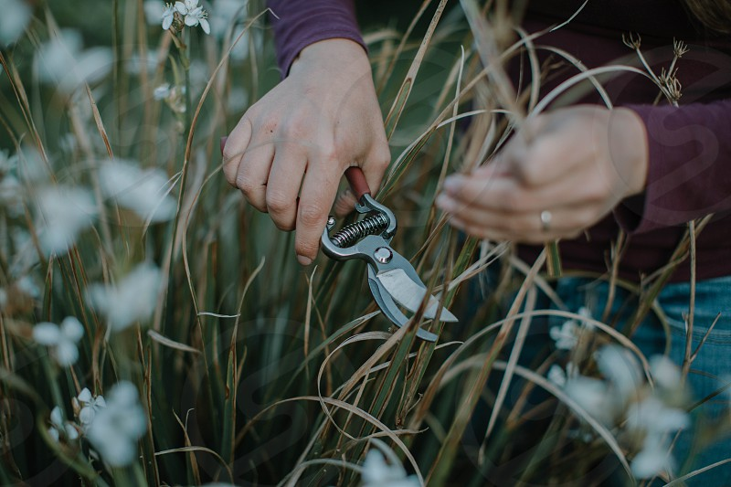 Hands cutting some plants with a pair of secateurs. photo
