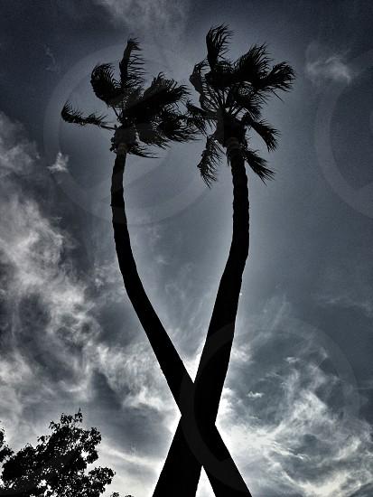 cococut trees photo