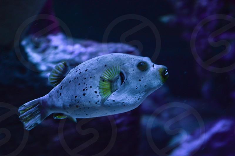 Puffer fish fish sea creatures ocean cretures underwater exotic fish exotic photo