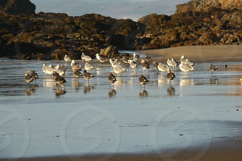 Seagull reflections in wet sand photo